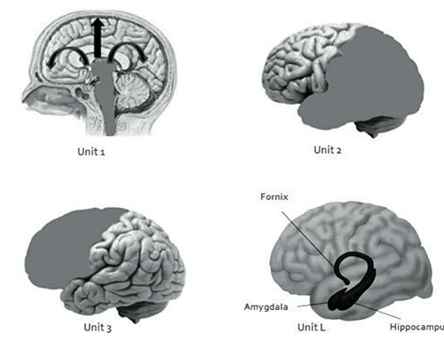 four Functional Units of the Brain